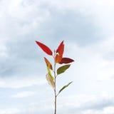 玉树红色叶子 免版税库存图片