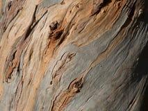 玉树globulus树,吠声 免版税图库摄影