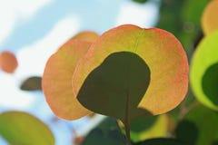 玉树polyanthemos,红色箱子,银元胶 库存图片