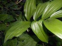 玉竹odoratum所罗门` s封印 免版税图库摄影