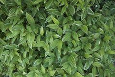 玉竹odoratum var pluriflorum 库存图片