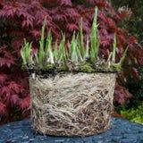 玉簪属植物和根 图库摄影