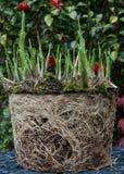 玉簪属植物和根 免版税库存图片