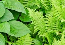 玉簪属植物和蕨事假 免版税图库摄影