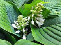 玉簪属植物大蕉开花照片 库存图片