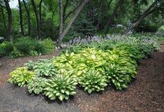 玉簪属植物庭院 免版税库存图片