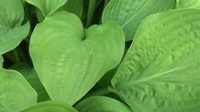 玉簪属植物植物新鲜的绿色叶子在庭院里 HD与steadicam的录影镜头射击 慢动作全景  股票视频