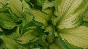 玉簪属植物植物新鲜的绿色叶子在挥动在风的庭院里 静态照相机录影镜头射击  影视素材