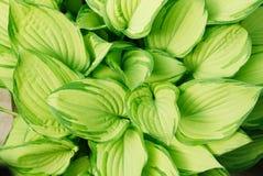 玉簪属植物绿宝石冠状头饰 免版税库存照片