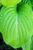 玉簪属植物绿色叶子与露水下落的  design_的纹理 库存照片
