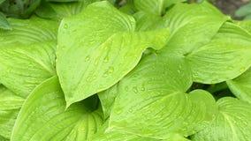 玉簪属植物美丽的绿色叶子与雨的滴下 股票视频