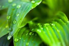 玉簪属植物绿色叶子与露滴的 免版税库存图片