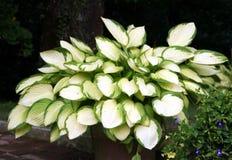 玉簪属植物 免版税库存图片