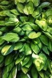 玉簪属植物 库存图片