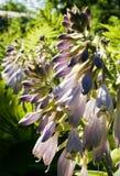 玉簪属植物 免版税库存照片