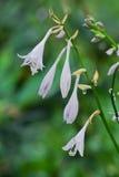 玉簪属植物 免版税图库摄影