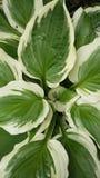 玉簪属植物 图库摄影