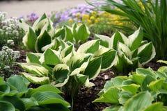 玉簪属植物 库存照片