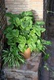 玉簪属植物plantaginea和Clorophytum comosum 图库摄影