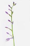 玉簪属植物plantaginea芽 库存照片