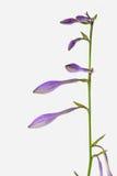 玉簪属植物plantaginea 库存图片