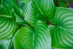 玉簪属植物Vetricosa 免版税库存图片