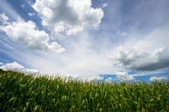 玉米、蓝天和云彩,农厂玉米田的领域 免版税库存照片