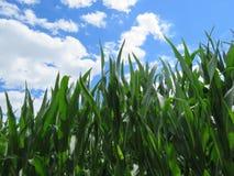 玉米、蓝天和白色云彩绿色叶子  免版税库存照片