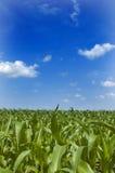玉米中西部 库存图片