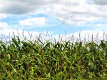 玉米作物栽培下面蓝色多云天空在夏天 免版税库存图片