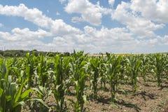 玉米作物栽培 免版税库存图片