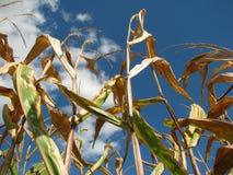 玉米偷偷靠近反对蓝天在一个明亮的晴天 库存图片