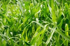 玉米农业 绿色本质 在农场土地的农村领域在夏天 植物生长 种田场面 免版税图库摄影