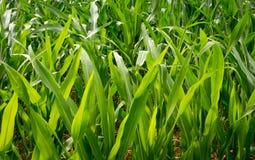 玉米农业 绿色本质 在农场土地的农村领域在夏天 植物生长 种田场面 图库摄影
