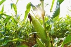 玉米农业 绿色本质 在农场土地的农村领域summ的 库存图片