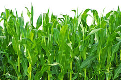 玉米农厂生长行茎 免版税库存图片