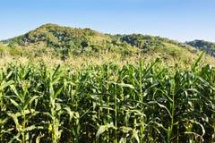 玉米农场十 库存图片