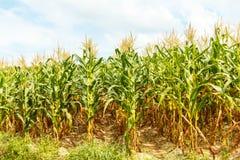 玉米农场在泰国 免版税图库摄影