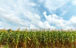 玉米农场在泰国 免版税库存图片