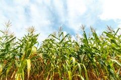 玉米农场在泰国 图库摄影