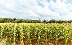玉米农场在泰国 库存照片