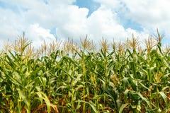 玉米农场在泰国 免版税库存照片