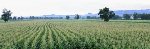 玉米农场 库存图片