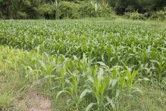 玉米农场 免版税图库摄影