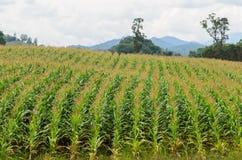 玉米农场 免版税库存图片