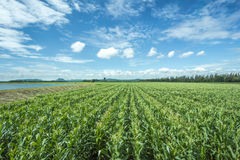 玉米农场 免版税库存照片