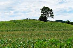 玉米农场 图库摄影