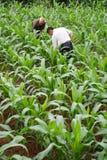 玉米农夫 图库摄影