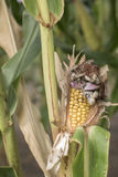 玉米凋枯病 免版税库存图片