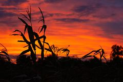 玉米剪影在美丽的日落天空的背景的 库存照片